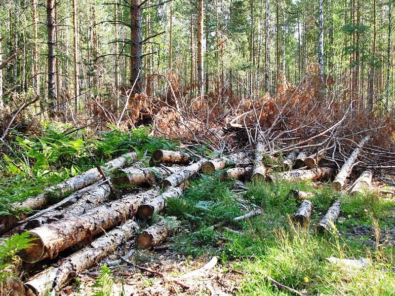 безжалостная вырубка лесов