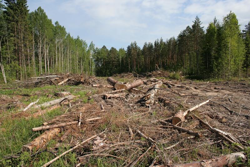 По объему вырубки лесов Россия впереди всех